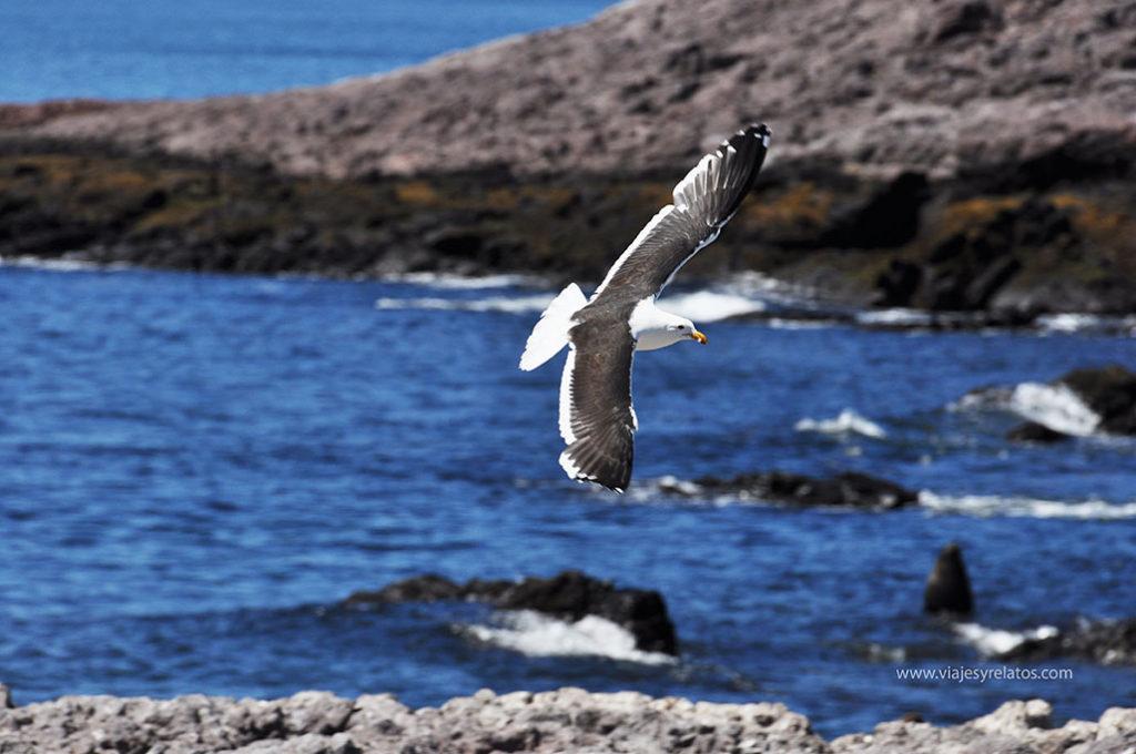 gaviota-patagonia